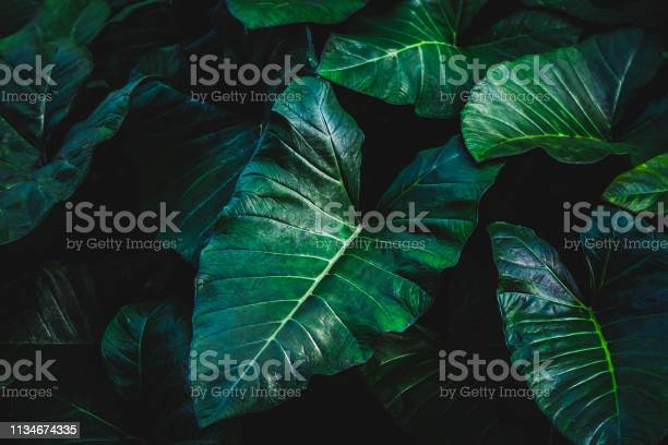 Tropical elephant ear leave background in dark tone picture id1134674335?b=1&k=6&m=1134674335&s=612x612&h=ro7 pwt uhoo dwnobvhniwvqgaq07qb4qhywdp4oi4=