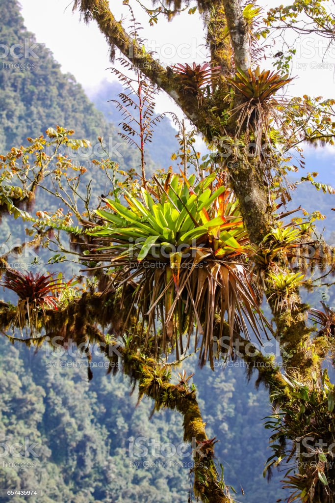 Tropical epiphyte on a tree, rainforest in background stock photo