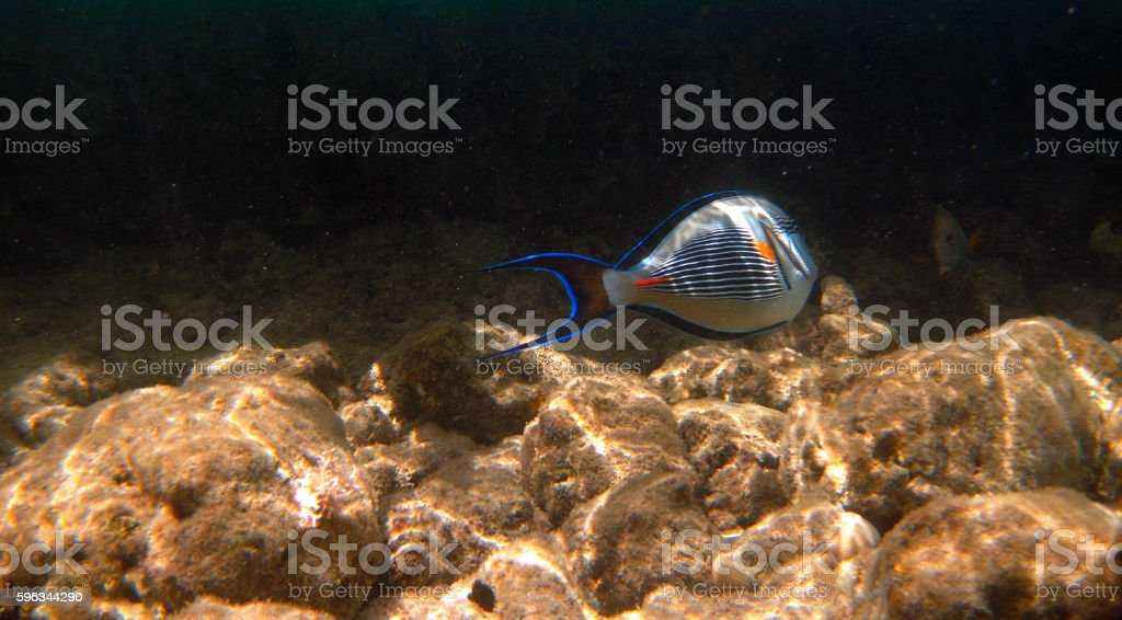 Tropical exotic fish acanthurus underwater in the water Red Sea Lizenzfreies stock-foto