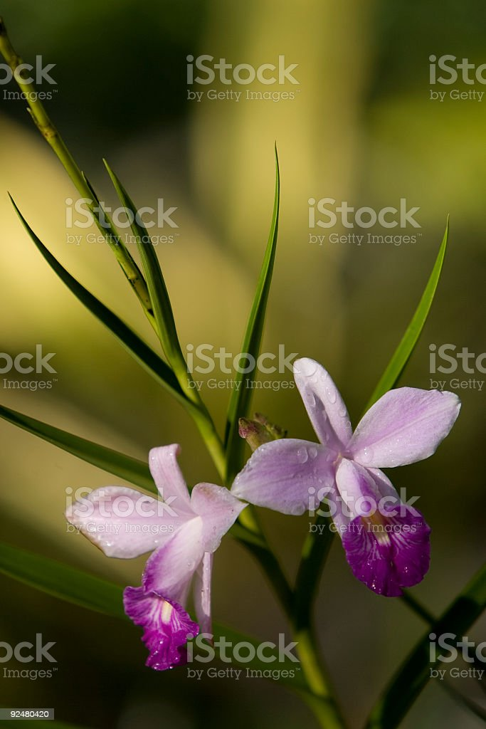 Tropical Fijian orchid in natural setting. royalty-free stock photo