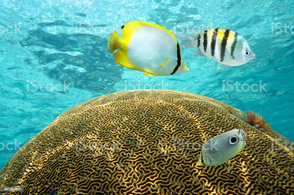 Tropical fish above brain coral stock photo
