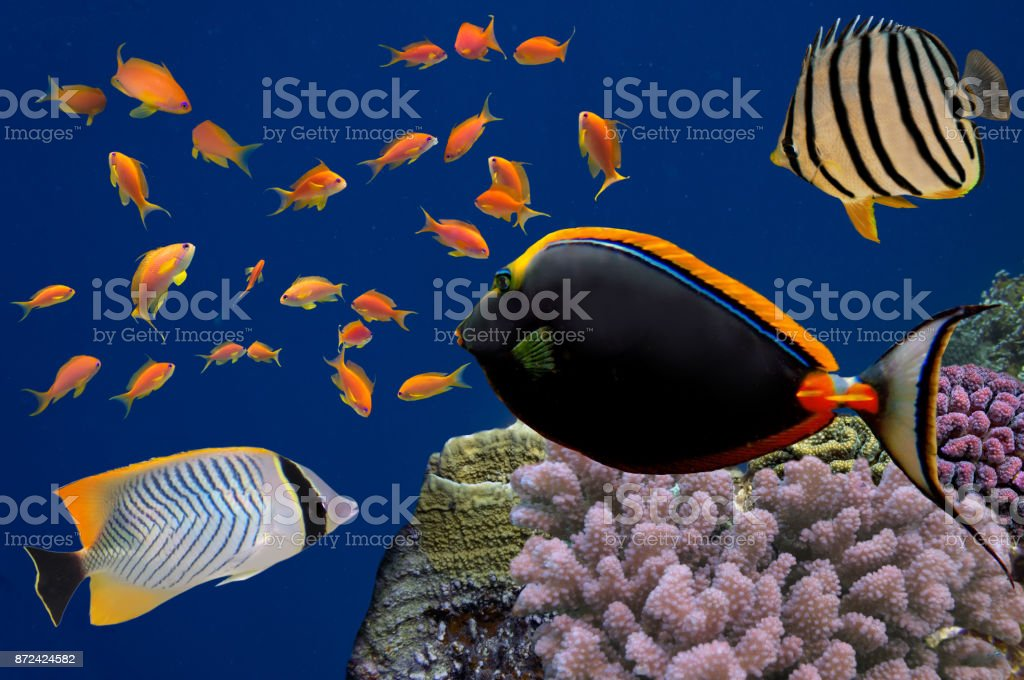 Tropical fish and Hard corals in the Red Sea, Egypt stock photo