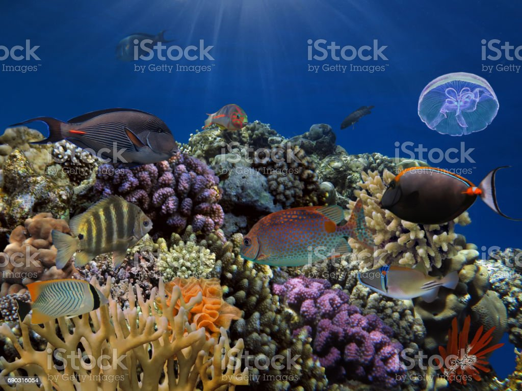 Tropical fish and Jellyfish in the Red Sea stock photo