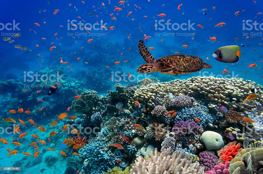 Tropical fish and turtle Tropical fish and turtle in the Red Sea, Egypt Animal Stock Photo