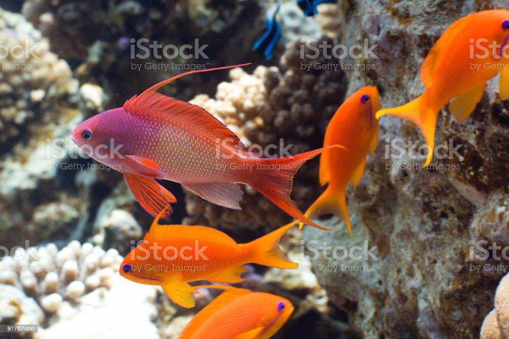 Tropical fish Anthias stock photo