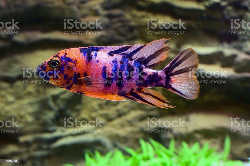 Tropical fish cichlid stock photo