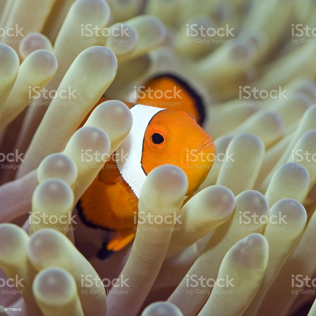 Tropical fish Clownfish royalty-free stock photo