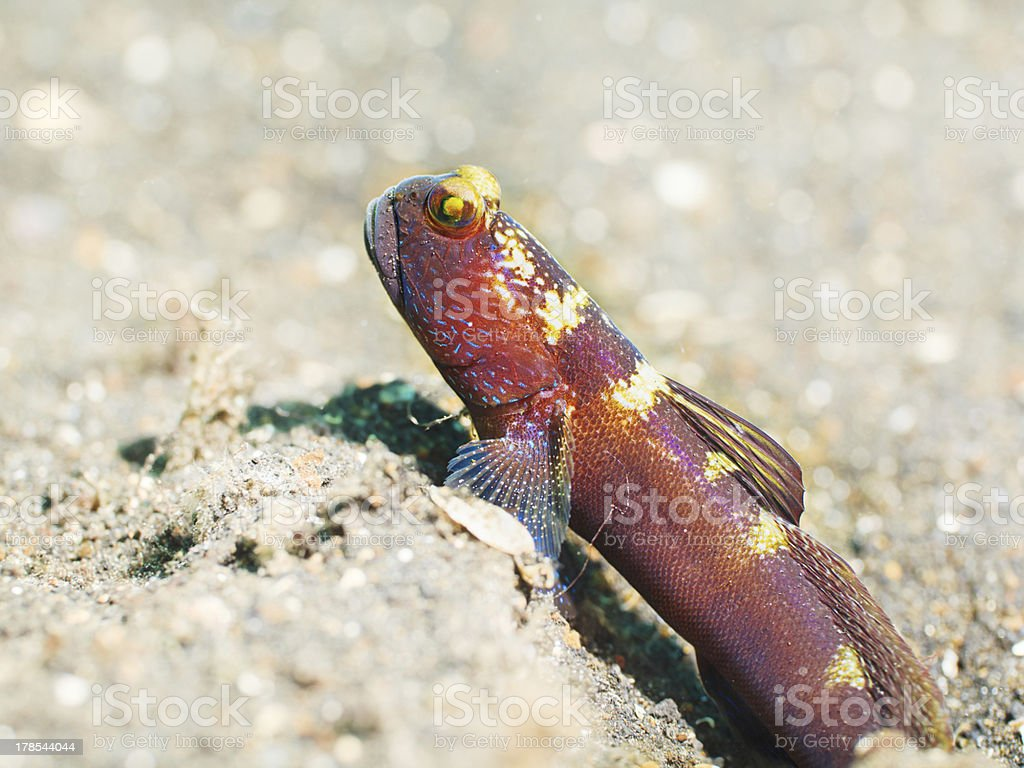 Tropical fish Goby royalty-free stock photo