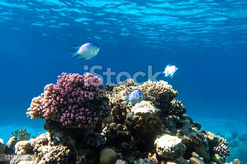 Tropical Fish In The Ocean. Beautiful Silver Moonfish (Moony, Monodactylidae) In The Red Sea Near Coral Reef. Purple Hard Corals, Underwater Diversity. Indo-Pacific Water, Diving Photo.
