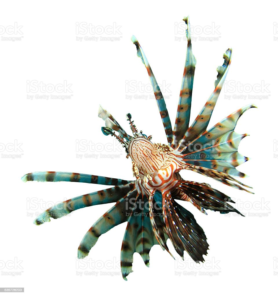 Tropical fish isolated: Lionfish stock photo