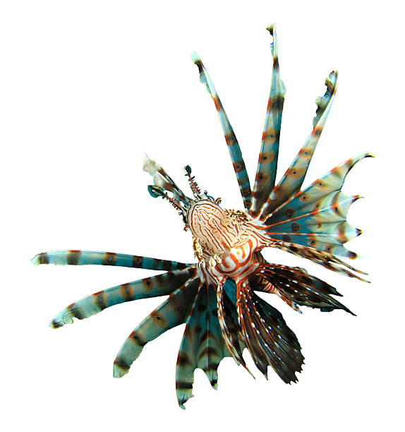 tropical fish isolated: lionfish - lionfish stock photos and pictures