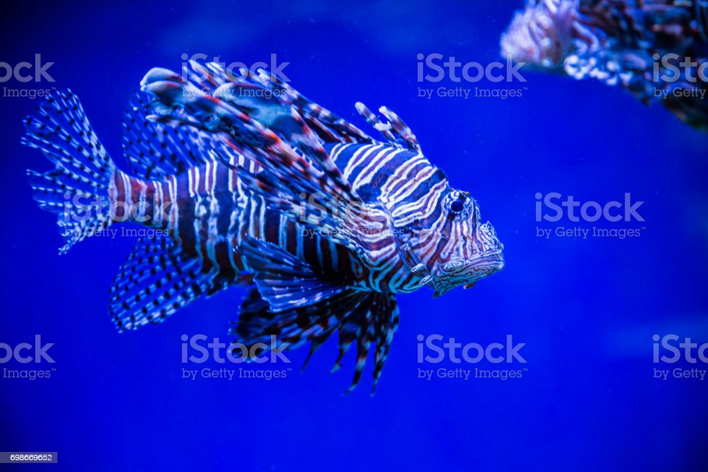 Tropical fish Lion fish and corals. Beautiful background of the underwater world stock photo