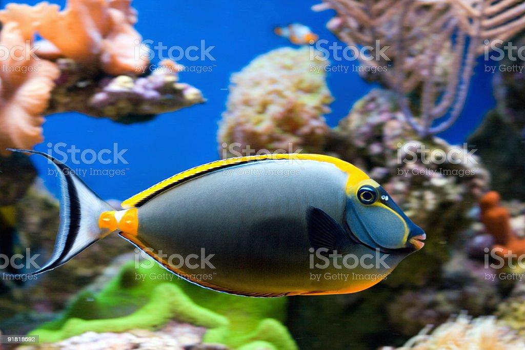 Tropical Fish Naso Tang royalty-free stock photo