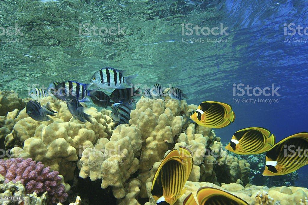 열대 물고기, 산호초 대한 royalty-free 스톡 사진