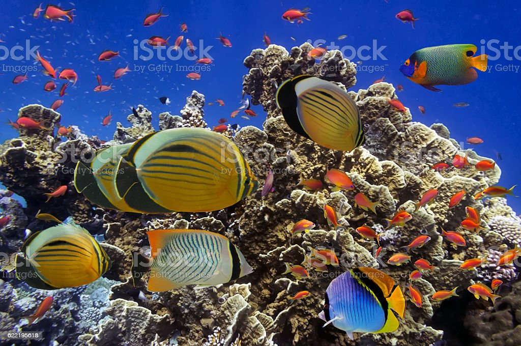 Tropical Fish on Coral Reef in the Red Sea stock photo