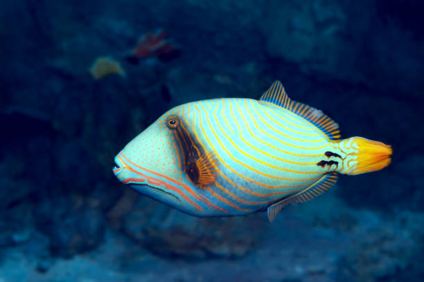 Tropical fish Orange-lined triggerfish (Balistapus undulatus) stock photo