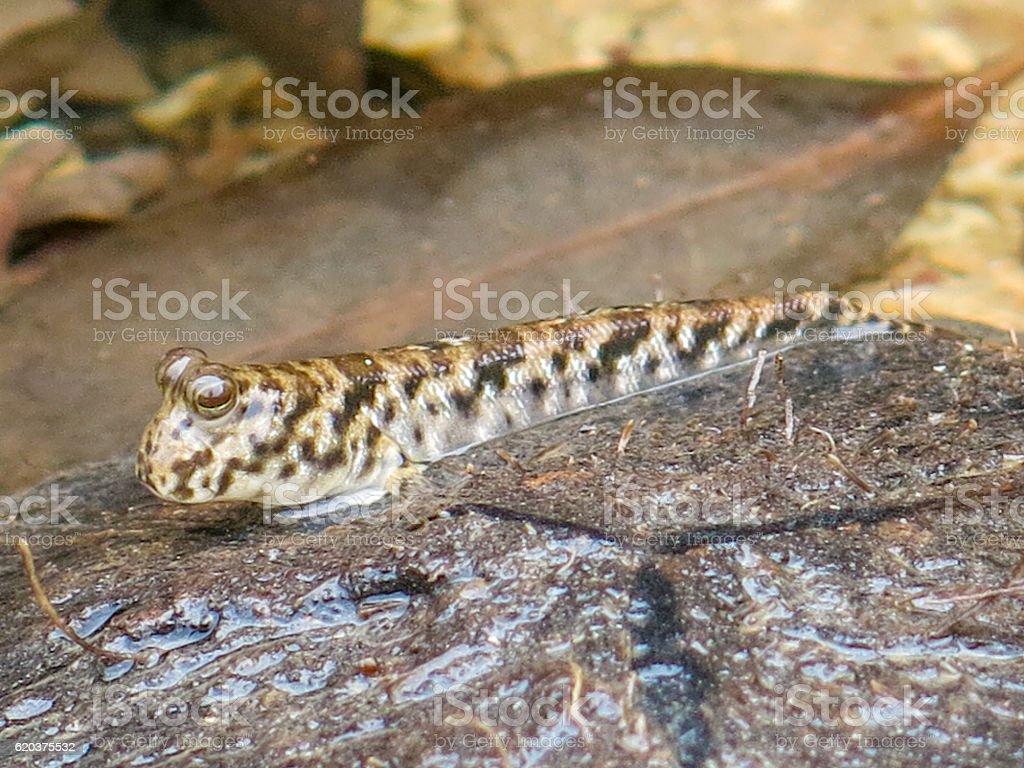 Tropical Fish Out Of Water Mudskipper (Periophthalmus barbarus) zbiór zdjęć royalty-free