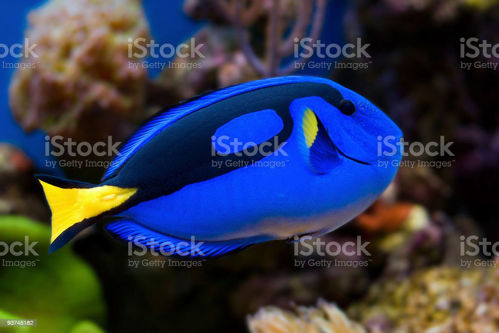 Tropical Fish Palette Tang stock photo