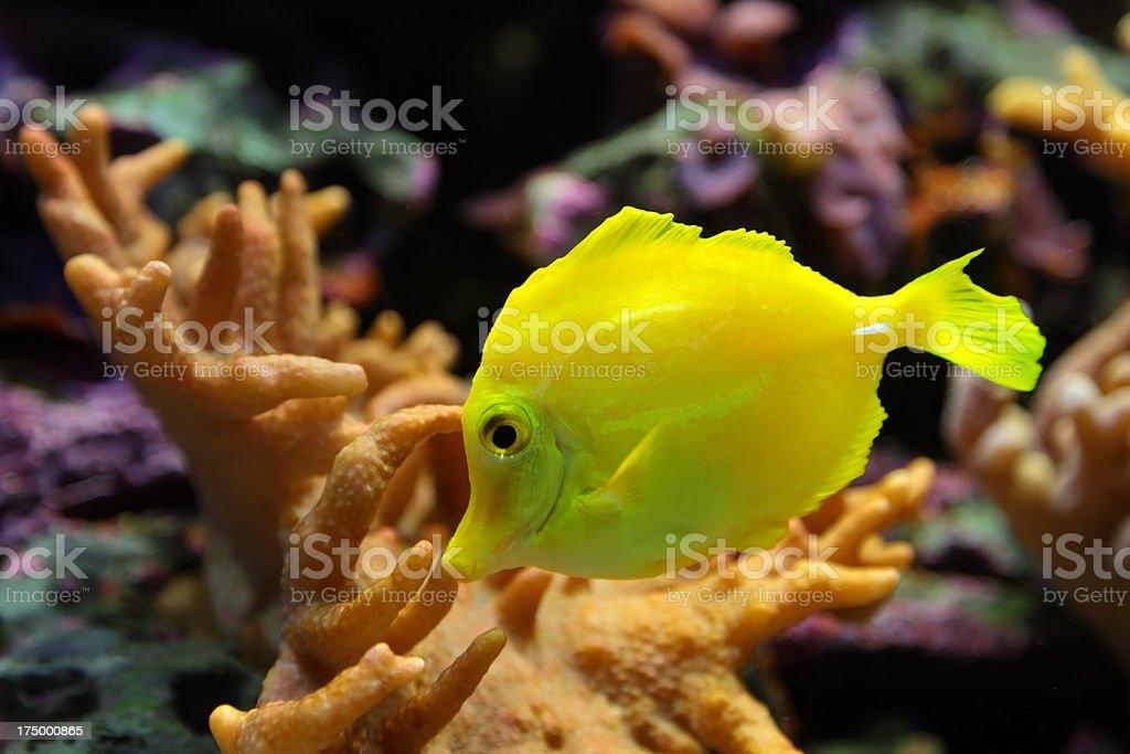 Tropical Fish (Zebrasoma Flavescens) stock photo