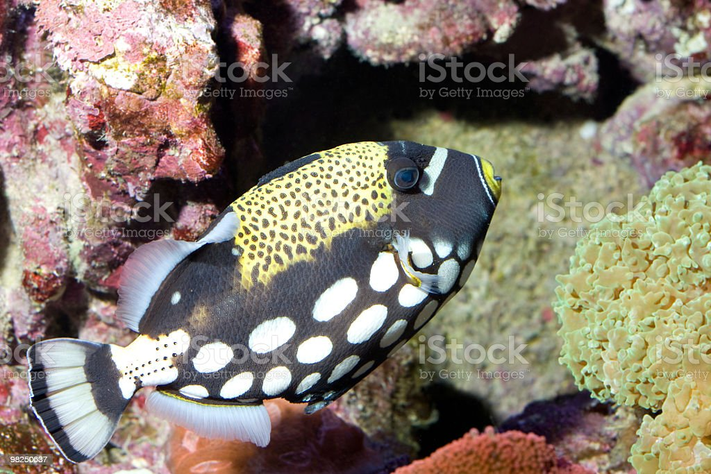 Pesce tropicale foto stock royalty-free