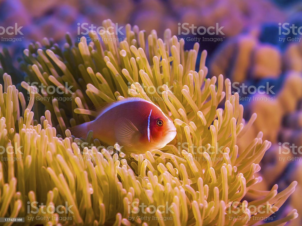 Tropical fish Pink clownfish royalty-free stock photo