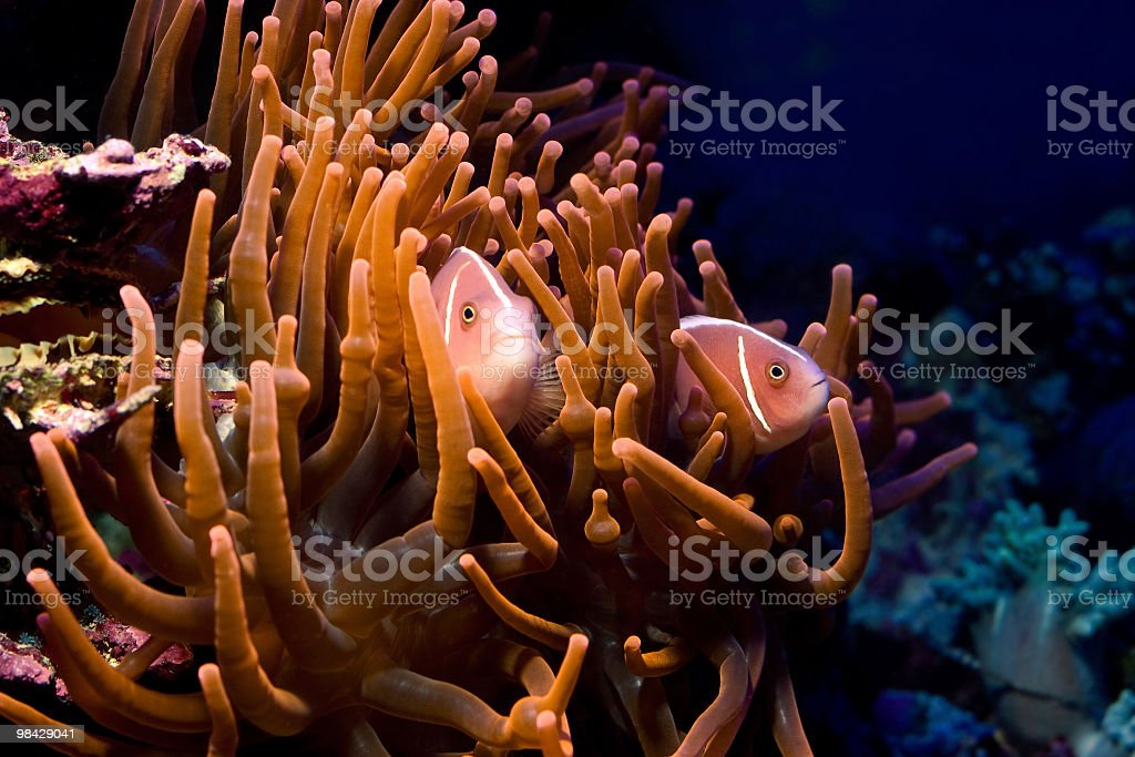 Tropical fish Pink Skunk Anemonfish royalty-free stock photo