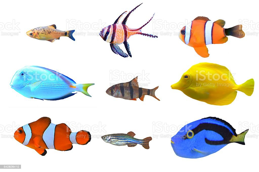 Tropical fish set breeds types isolated white background for White fish types
