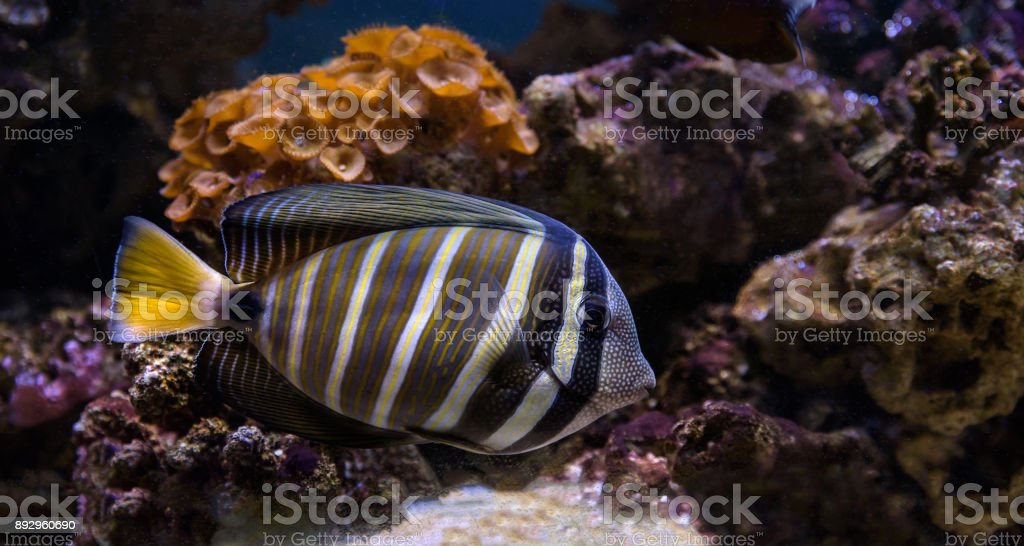 Tropical fish swimming between corals stock photo