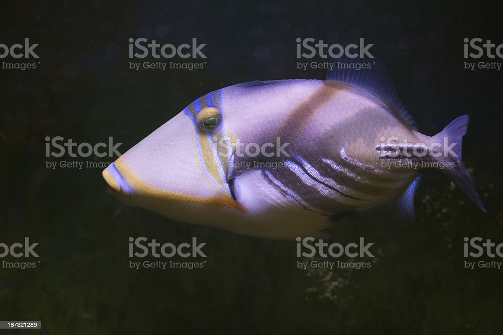 Tropical Fish -  XXL royalty-free stock photo