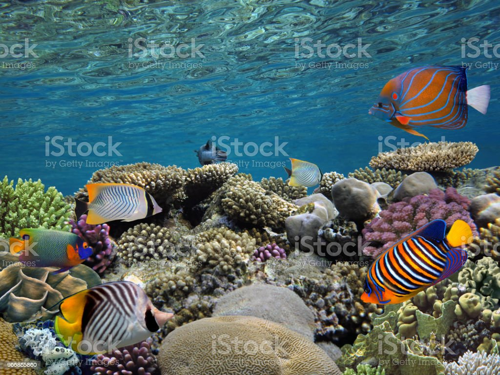 Tropical fishes and corals reef in ocean stock photo