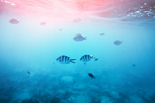 Group of zebra fishes swimming in the sea (Zanzibar island).