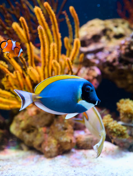 Tropical fishes swimming between corals Tropical fishes swimming between corals false clown fish stock pictures, royalty-free photos & images