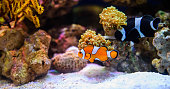 Tropical fishes swimming between corals