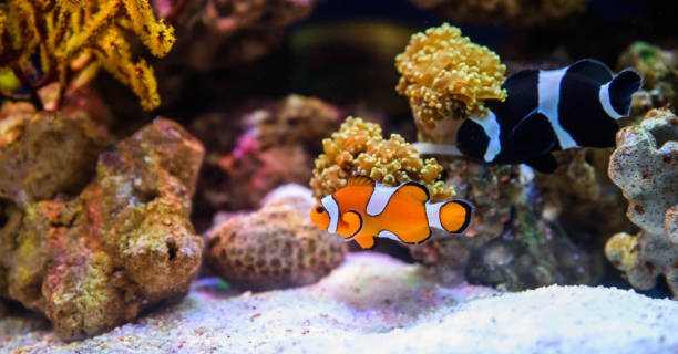 Tropical fishes swimming between corals Tropical fishes swimming between corals anemonefish stock pictures, royalty-free photos & images