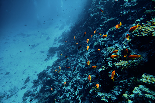 horizontal shot of tropical fishes swimming underwater near soft corals, sealife background.