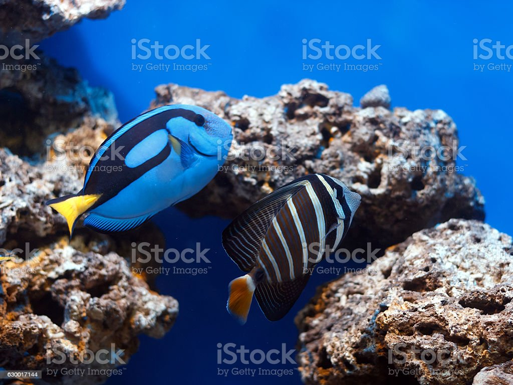 Tropical fishs swimming between corals stock photo