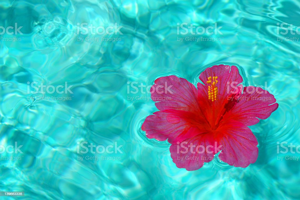 Tropical Floating Hibiscus royalty-free stock photo