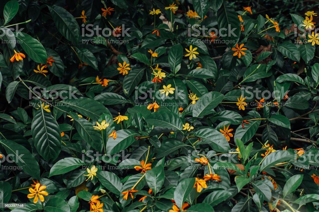 Tropikalny kwiat na tle - Zbiór zdjęć royalty-free (Bez ludzi)