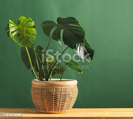 Tropical flower monstera plant with large leaves in ceramic potted on a wooden table against the background of a green wall. The concept of nature and clean air. Copy space. Horizontal frame