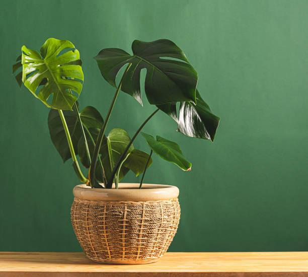 planta tropical do monstera da flor com grandes folhas na tabela de madeira potted cerâmica de encontro ao fundo de uma parede verde. - monstera - fotografias e filmes do acervo