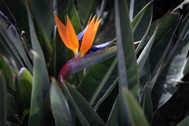 Tropical flower of Sterlitzia - foto stock