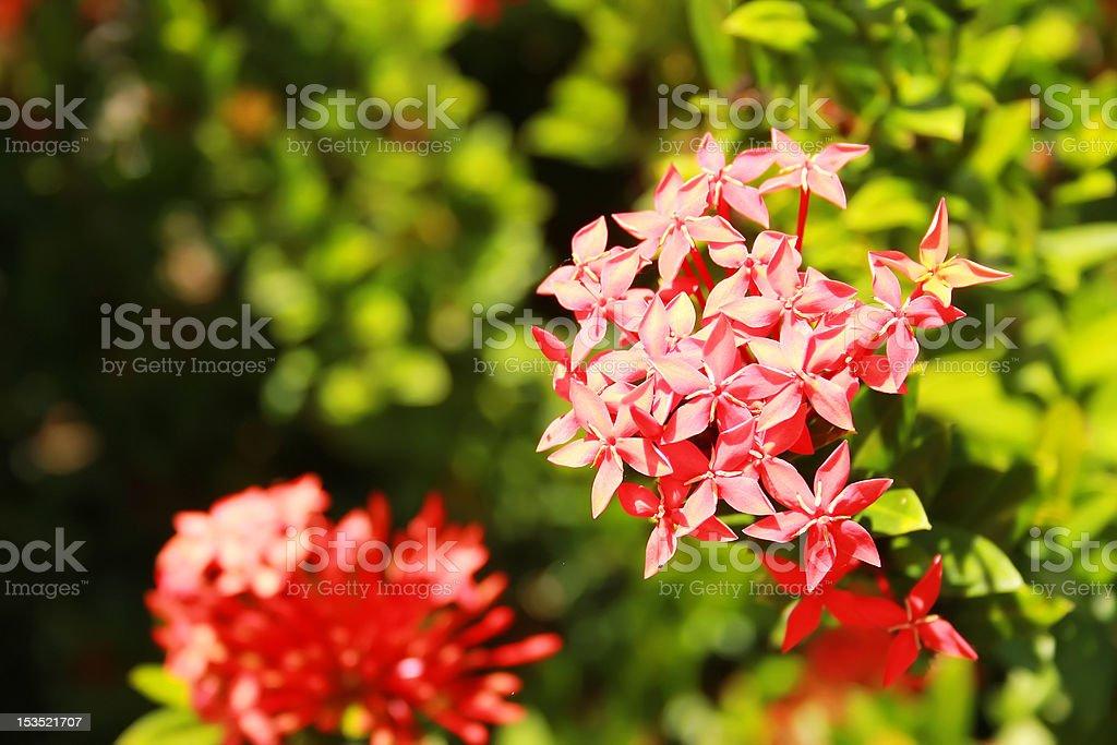 Tropical flower - Pentas lanceolata stock photo