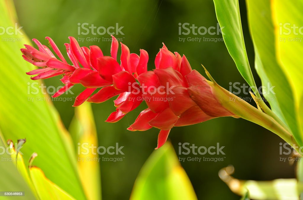 tropical flower stock photo