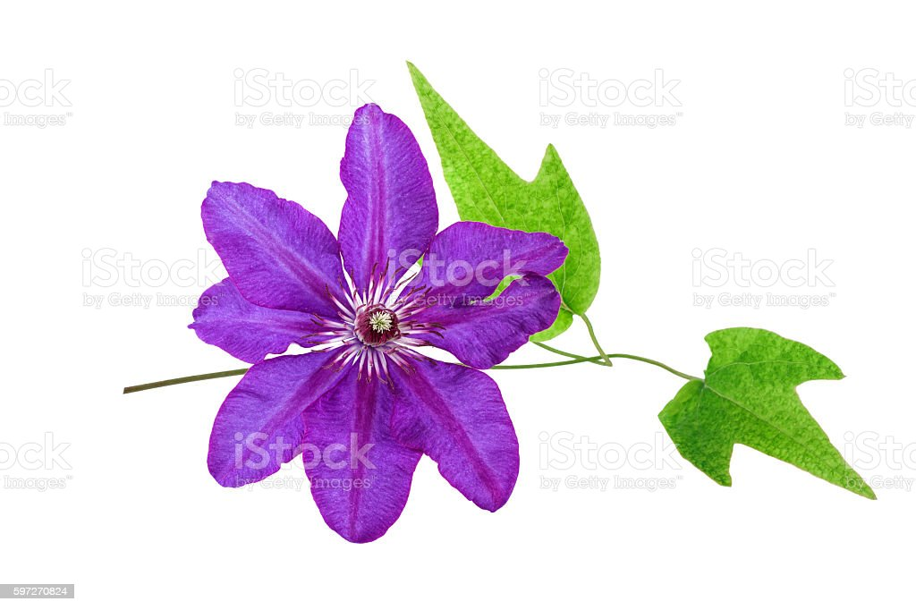 Tropical Flower Purple color isolated on white. Spa concept. royalty-free stock photo