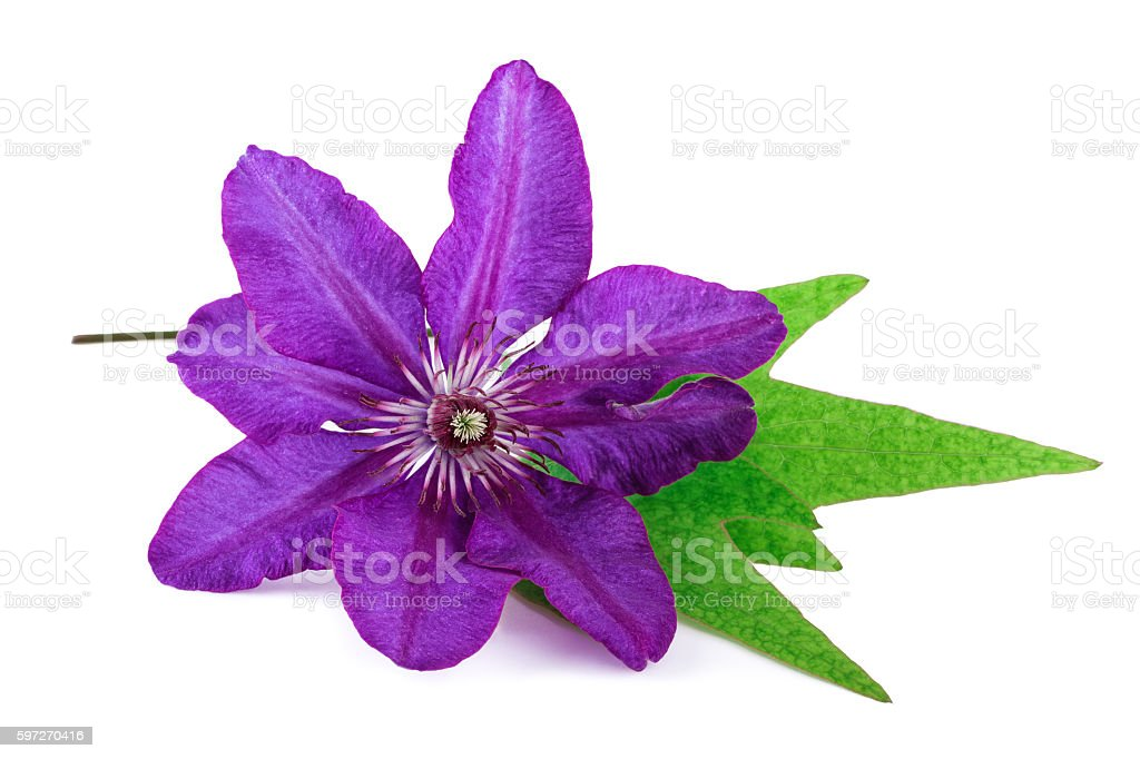 Tropical Flower Purple Color royalty-free stock photo