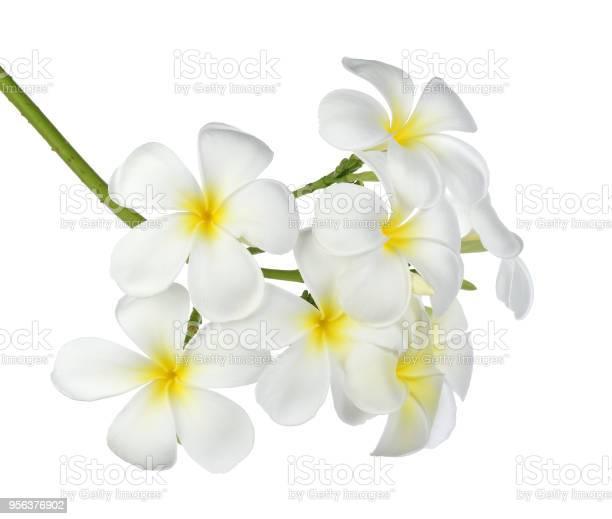 Tropical flowers frangipani picture id956376902?b=1&k=6&m=956376902&s=612x612&h=qxn6qmczj eb617qdtmlkkf2hwor acbu1ht9narjso=