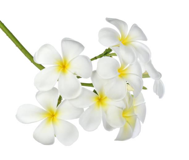 열대의 꽃 푸루메리아 - 재스민 뉴스 사진 이미지