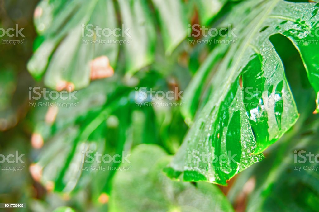 Tropical foliage Monstera plant in natural conditions, with moisture from the rain. Dirty leaves, white spots. Selective focus. royalty-free stock photo