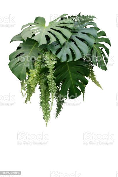 Tropical foliage plant bush of monstera and hanging fern green leaves picture id1025389810?b=1&k=6&m=1025389810&s=612x612&h=fncyuluctemg pitrkrsawms9aq9dwawcuas2ukxkds=