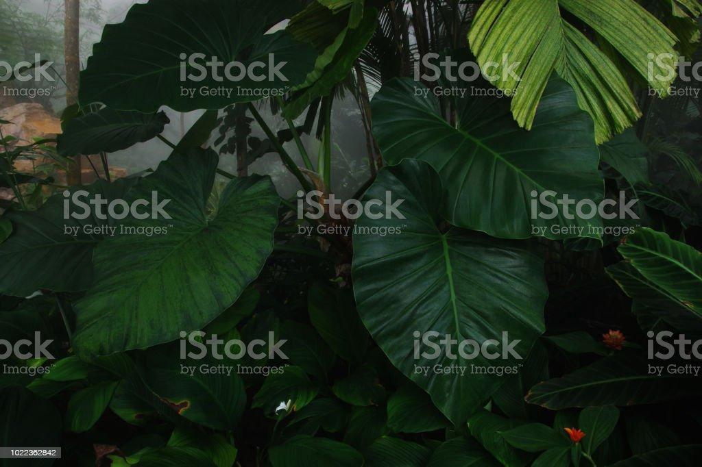 Nature des plantes tropicales de feuillage vert feuilles dans le jardin botanique de forêt tropicale sur fond de matin Forêt brumeuse. - Photo